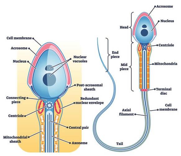 sperm cell diagram anatomy acrosome head tail flagellum
