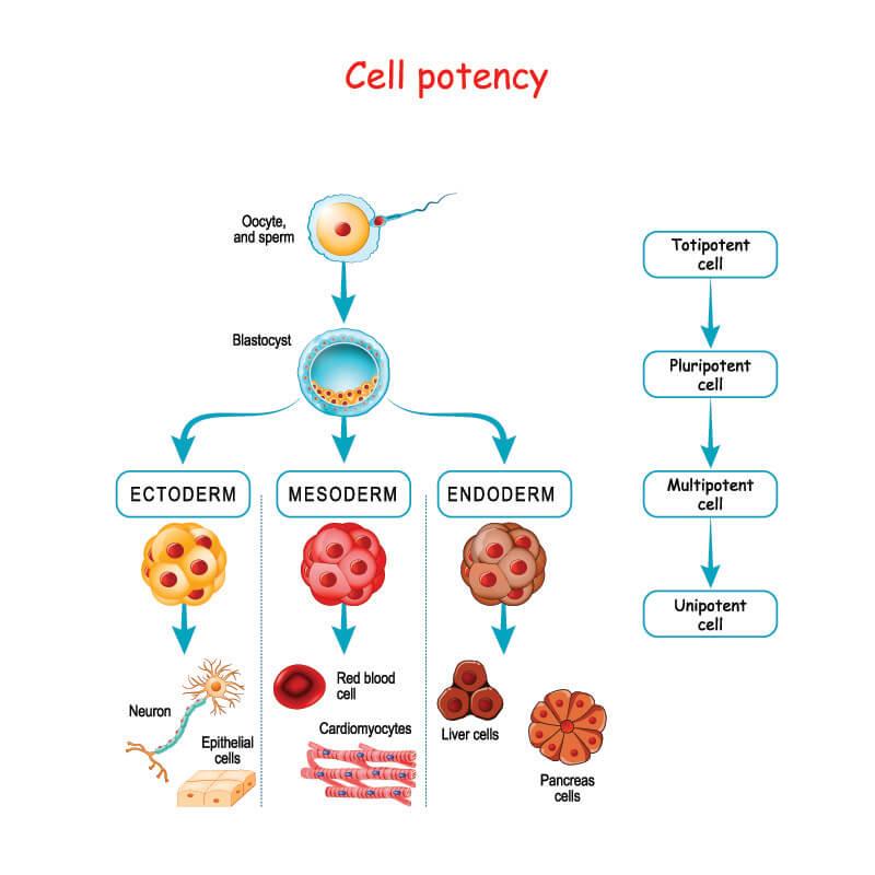 stem cell potency totipotent multipotent oligopotent unipotent