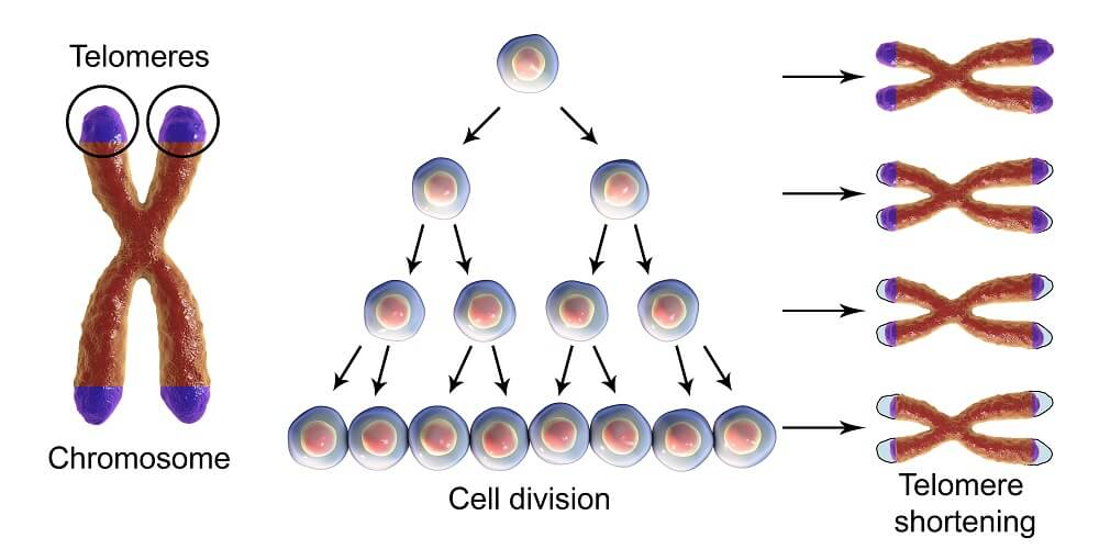 immortal telomere cell division, which shortens Hela cells