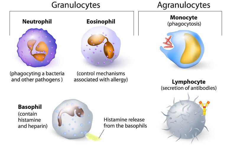 white blood cell cells leukocytes lymphocytes dendritic basophil neutrophil eosinophil macrophage