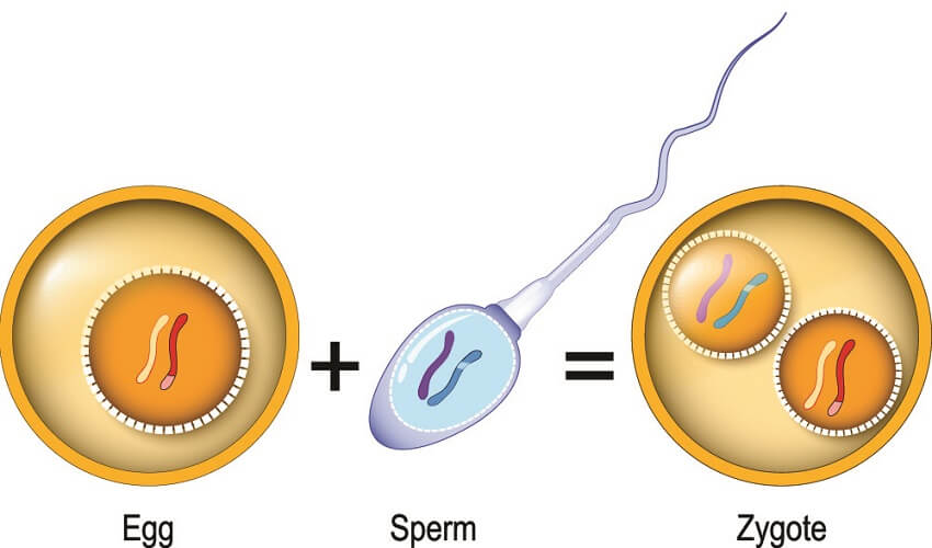 zygote stem cell sperm egg fertilization