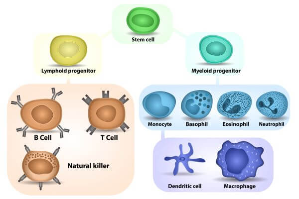 Myeloid cells are one of two major blood cell lines