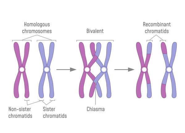 Crossing over occurs during meiosis II