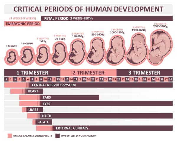 Male embryonic development is driven by testosterone