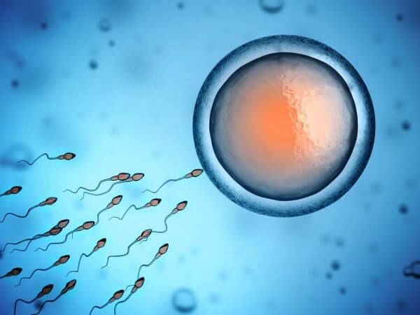 Germ cells give rise to gametes
