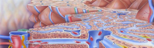 Kupffer cells are found in liver tissue