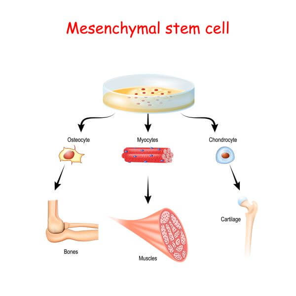 Mesenchymal stem cells develop into other cell types