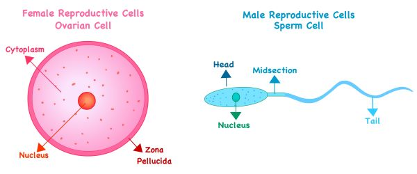 Egg and sperm cells develop from germ cells