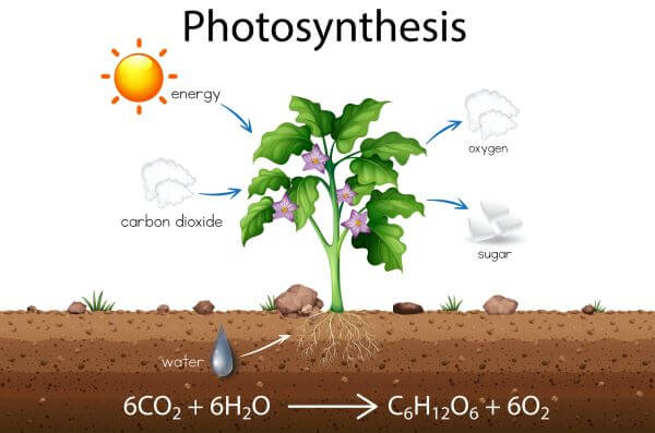 Guard cells regulate the uptake of carbon dioxide and the release of oxygen in plants