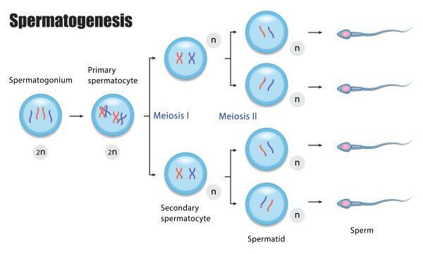Testosterone is needed for spermatogenesis