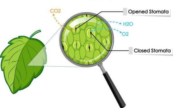 Guard cells regulate gas exchange in plants