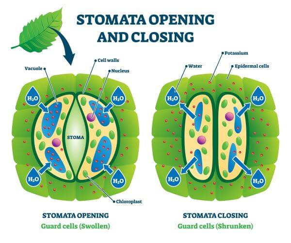 The opening and closing of the stomata is driven by turgor pressure