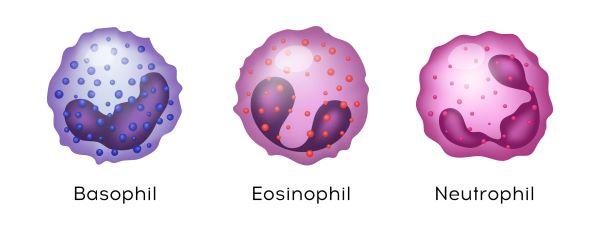 The three types of granulocytes are neutrophils, basophils, and eosinophils