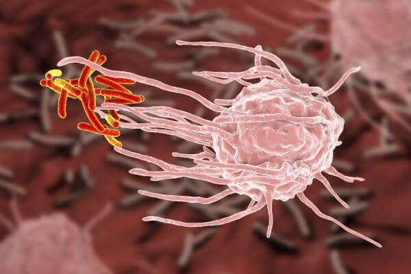 Kupffer cells phagocytize antigens in the liver