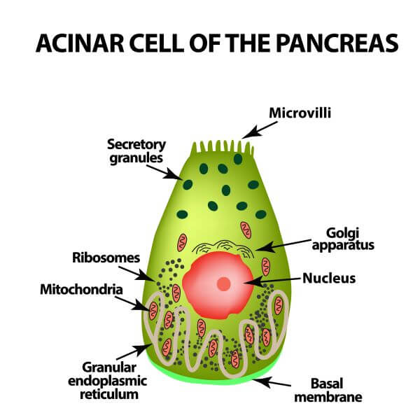 Acinar cells are specially adapted for protein synthesis