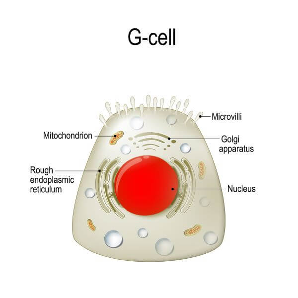 The gastrointestinal hormone gastrin is released by G cells