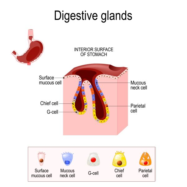 Main cells are located in the gastric glands of the stomach