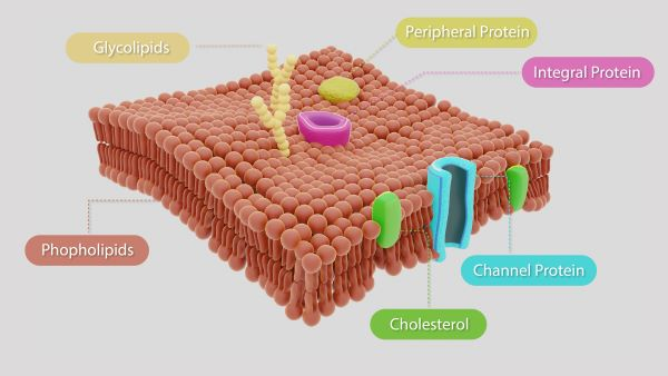 High cholesterol levels can lead to the formation of target cells